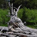 Calamari-Tree