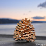 Floating-Pinecone