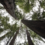 Looking-Up-at-Redwoods