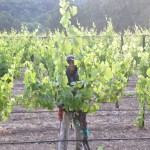 Vineyard Worker