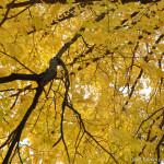 Yellow-Canopy