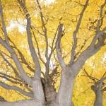 Golden-Tree