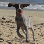 German-Shorthair